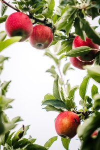 Apple (8 of 15)