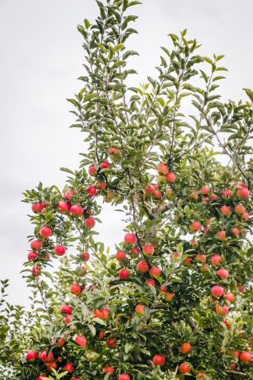 Apple v2 (1 of 2)